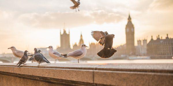 Système préventif anti Pigeons